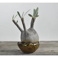 Pachypodium rosulatum var. gracilius 〈幹幅10.9cm〉  × Tomoharu Nakagawa植木鉢 no.0204227