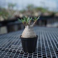 Pachypodium rosulatum var. gracilius〈幹幅7.3cm〉