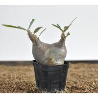 Pachypodium rosulatum var. gracilius  no.0204098〈幹幅8.0cm〉