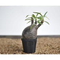 Pachypodium rosulatum var. gracilius 〈幹幅7.0cm〉