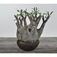 Pachypodium rosulatum var. gracilius 〈幹幅14.2cm〉  × Tomoharu Nakagawa植木鉢 no.0205049