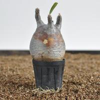 Pachypodium rosulatum var. gracilius  no.02040135〈幹幅7.7cm〉