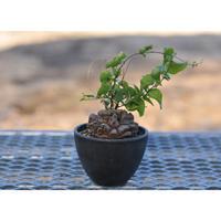 Dioscorea Elephantipes 亀甲竜 (幹幅7.6cm)