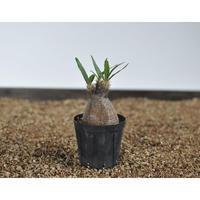 Pachypodium rosulatum var. gracilius 〈幹幅5.2cm〉 no.0205081