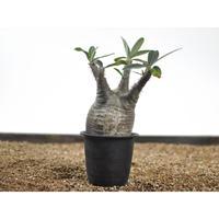 Pachypodium rosulatum var. gracilius 〈幹幅9.2cm〉