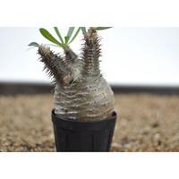Pachypodium rosulatum var. gracilius〈幹幅6.7cm〉