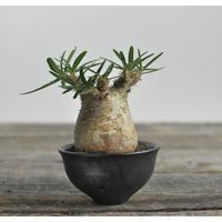 Pachypodium rosulatum var. gracilius 〈幹幅7.0cm〉  × Tomoharu Nakagawa植木鉢 no.0204226