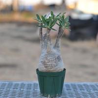 Pachypodium rosulatum var. gracilius〈幹幅9.0cm〉