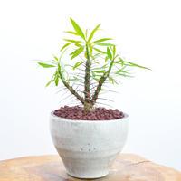 Fouquieria purpusii