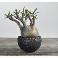 Pachypodium rosulatum var. gracilius 〈幹幅10.1cm〉  × Tomoharu Nakagawa植木鉢 no.0204225