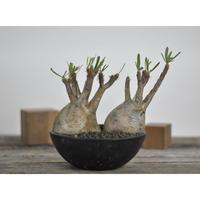 Pachypodium rosulatum var. gracilius〈幹幅19.2cm〉