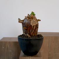 Pachypodium bispinosum   3011161