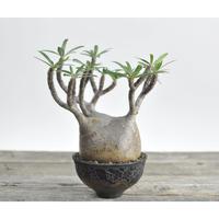 Pachypodium rosulatum var. gracilius × Tomoharu Nakagawa植木鉢 no.0204042