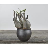 Pachypodium rosulatum var. gracilius 〈幹幅12.1cm〉  × Tomoharu Nakagawa植木鉢 no.0205048