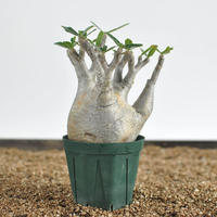 Pachypodium rosulatum var. gracilius  no.02040132〈幹幅9.2cm〉