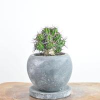 Euphorbia phillipsiae