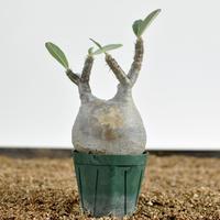 Pachypodium rosulatum var. gracilius  no.0204094〈幹幅8.6cm〉