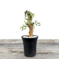 Commiphora foliacea no.0203212