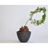 Dioscorea Elephantipes 亀甲竜 seedling no.0110142