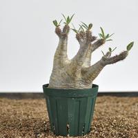 Pachypodium rosulatum var. gracilius  no.02040131〈幹幅8.7cm〉