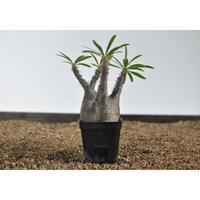 Pachypodium rosulatum var. gracilius 〈幹幅7.3cm〉 no.0205084