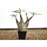 Pachypodium rosulatum var. gracilius〈幹幅8.5cm〉