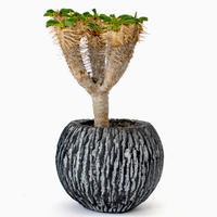 Euphorbia guillauminiana