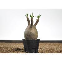Pachypodium rosulatum var. gracilius 〈幹幅7.8cm〉