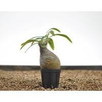 Pachypodium rosulatum var. gracilius 〈幹幅6.0cm〉
