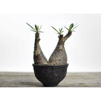 Pachypodium rosulatum var. gracilius × Tomoharu Nakagawa植木鉢〈幹幅11.1cm〉