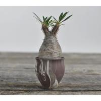 Pachypodium rosulatum var. gracilius 〈幹幅5.6cm〉  × Tomoharu Nakagawa植木鉢  no.0204291
