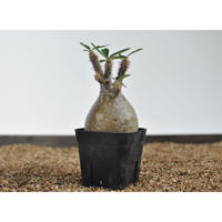 Pachypodium rosulatum var. gracilius 〈幹幅7.8cm〉 no.0205087