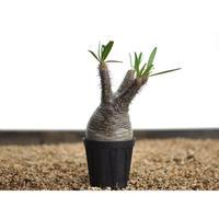 Pachypodium rosulatum var. gracilius〈幹幅6.6cm〉