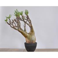 Pachypodium rosulatum var. gracilius 3009122