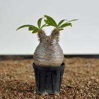 Pachypodium rosulatum var. gracilius  no.0204097〈幹幅7.0cm〉