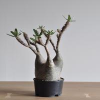 Pachypodium rosulatum var. gracilius〈幹幅12.5cm〉