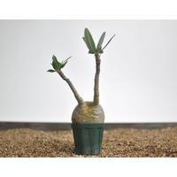 Pachypodium rosulatum var. gracilius 〈幹幅7.2cm〉