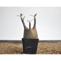Pachypodium rosulatum var. gracilius 〈幹幅8.0cm〉