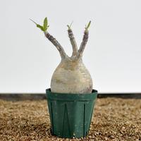 Pachypodium rosulatum var. gracilius  no.02040134〈幹幅8.4cm〉