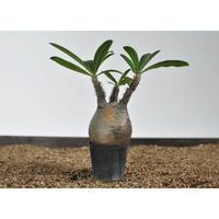 Pachypodium rosulatum var. gracilius 〈幹幅7.9cm〉 no.0205089