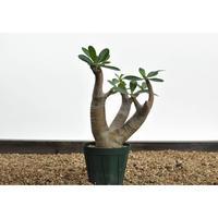 Pachypodium makayense 〈幹幅4.5cm〉