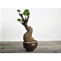 Commiphora guidotti × Tomoharu Nakagawa植木鉢