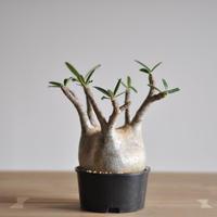 Pachypodium rosulatum var. gracilius〈幹幅12.1cm〉
