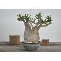 Pachypodium rosulatum var. gracilius〈幹幅12.5cm〉 × Tomoharu Nakagawa植木鉢