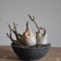 Pachypodium rosulatum var. gracilius〈幹幅22.4cm〉