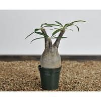Pachypodium rosulatum var. gracilius〈幹幅6.8cm〉