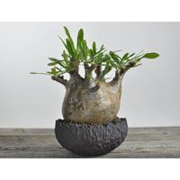 Pachypodium rosulatum var. gracilius 〈幹幅15.5cm〉  × Tomoharu Nakagawa植木鉢 no.0204228