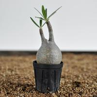 Pachypodium rosulatum var. gracilius  no.0204099〈幹幅4.6cm〉