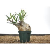 Pachypodium rosulatum var. gracilius 〈幹幅11.6cm〉