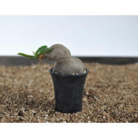 Euphorbia sp. nova ranohira